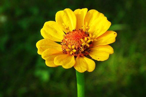 Zinnia, Flower, Yellow, Plant, Garden, Nature, Closeup