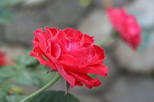 Red Rose, Dewdrops, Flower, Red Flower, Petals