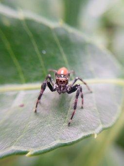 Frigga Sp, Salticidae, Aranha-saltadora, Papa-moscas