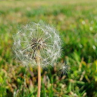 Nature, Minimalistic, Green, Lion, Dandelion, Simple