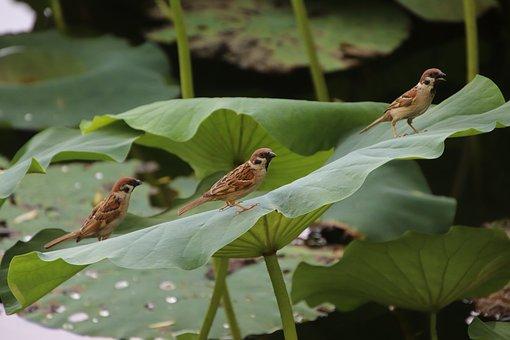 Sparrows, Birds, Pond, Animals, Small Birds