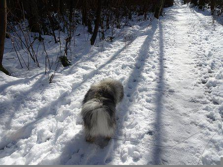 Keeshond, Snow, Shadow, Fur, Hiking, Nature, Winter