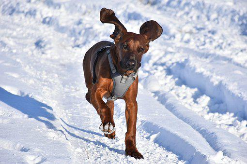 Mountain Hound, Dog, Snow, Running, Playing, Winter