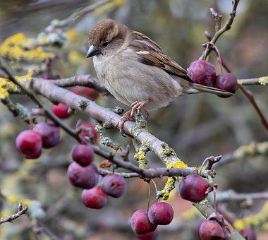 Sparrow, Branch, Berries, Perched, Bird, Hedge Sparrow