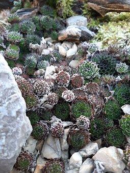 Succulent, Houseleek, Stone Garden, Garden