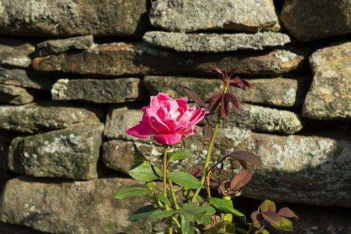 Rose, Flower, Stone Wall, Pink Rose, Pink Flower