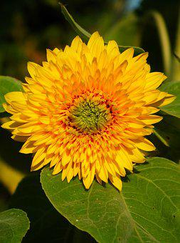 Sunflower, Flower, Yellow, Nature, Summer, Plant