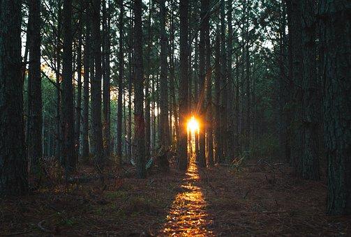Trees, Forest, Light Beam, Woods, Sunrays, Sunshine