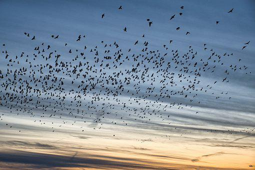 Flock Of Birds, Swarm, Flying Birds, Dig, Crow