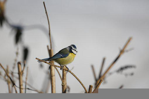 Bird, Bill, Tit, Feather, Blue Tit