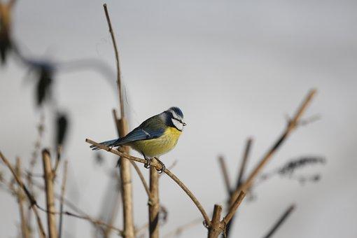 Bird, Bill, Tit, Feather, Blue Tit, Songbird, Plumage