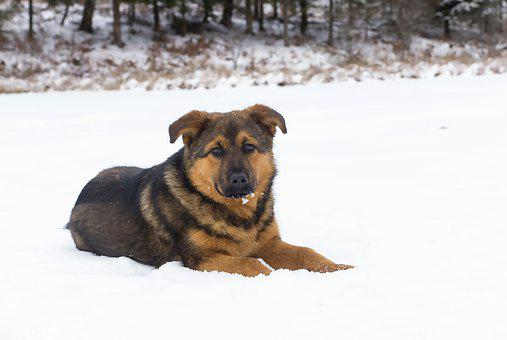 Dog, Winter, Snow, Animal, Cold, Pet, Lying, Cozy