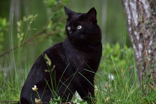 Cat, Black, Home, Animal