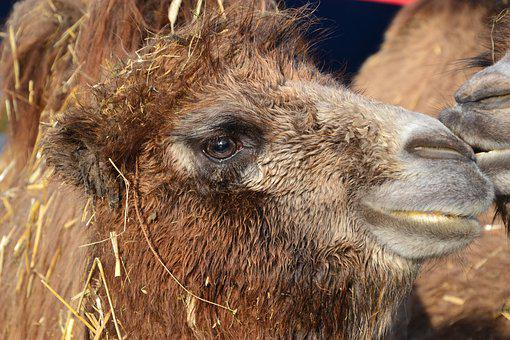 Camel, Mammal, Animal, Young Animal, Animal Head
