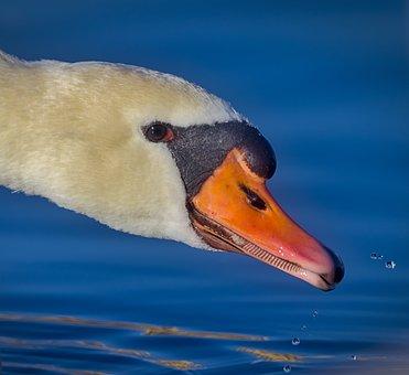 Swan, Drink, Water, Bird, Nature, Animal, Plumage