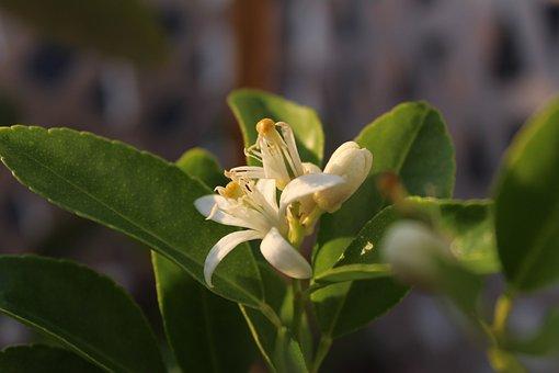 Azahar, Limón, Lime, Flor, Flower, Citrus