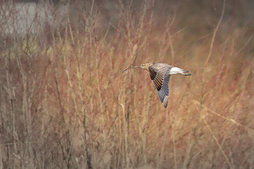 Curlew, Water Bird, Bird, Flight