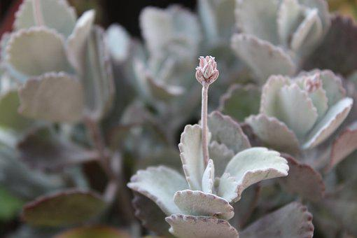 Kalanchoe, Blossom, Bloom, Crassulaceae, Succulent