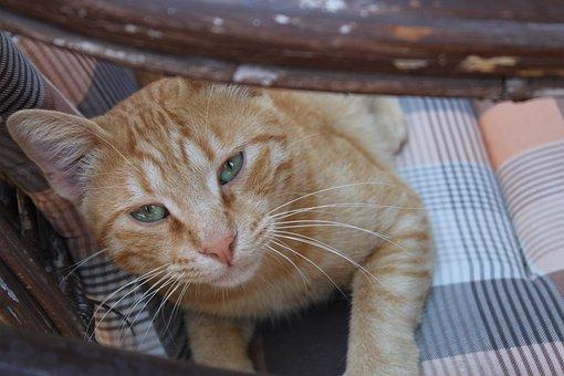 Cat, Looking, Curious, Tabby, Orange Tabby, Tabby Cat