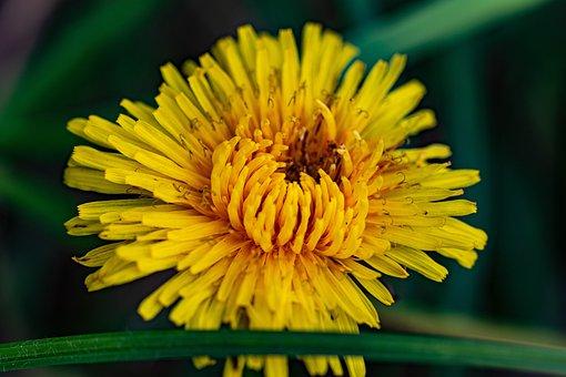 Dandelion, Flower, Meadow, Yellow Flower
