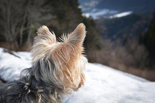Yorkshire Terrier, Yorkie, Terrier, Dog, Small