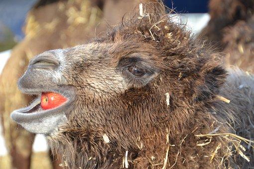 Camel, Mammal, Animal, Young Animal, Animal Head, Eat