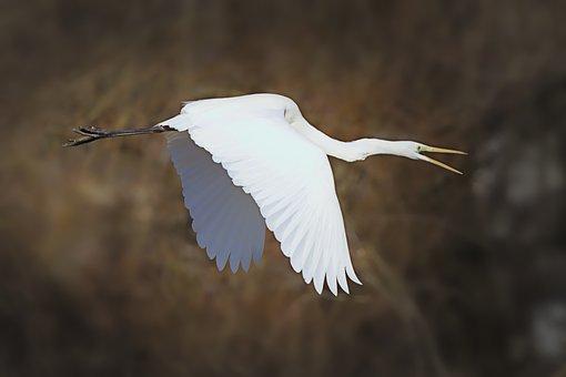 Egret, Heron, Water Bird, Eastern, Nature, Feather