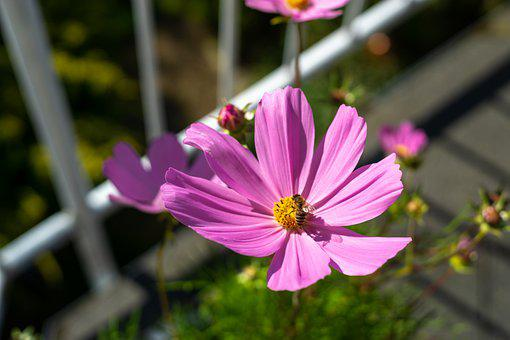 Cosmos, Flower, Bee, Honey Bee, Insect, Pollination