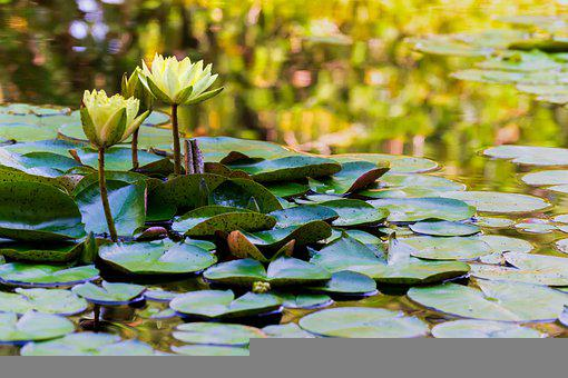 Flowers, Water Lilies, Pond, Lotus, Lily Pads