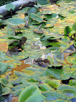 Water Lilies, Pond, Lily Pond, Fountain, Water Lily