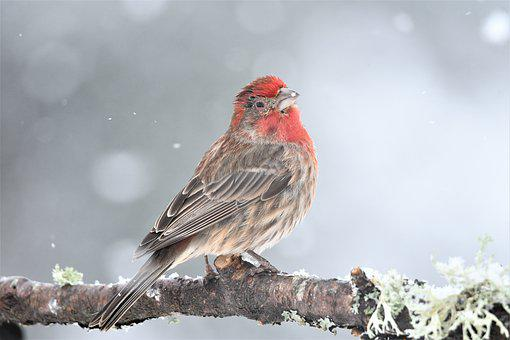 House Finch, Male, Injure, One-eyed, Chills, On Snow