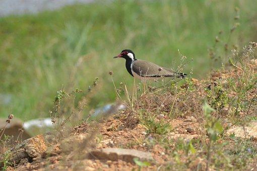 Lapwing, Bird, Nature, Plumage, Ornithology, Feathers