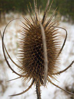 Winter, Thistle, Snow, Nature, Plant, Cold, Brown