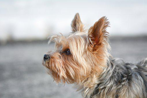 Dog, Small, Out, Winter, Yorkie, Yorkshire Terrier