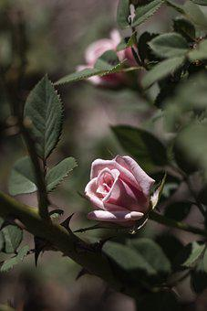 Rose, Pink Rose, Flower, Pinkflower, Rose Thorns