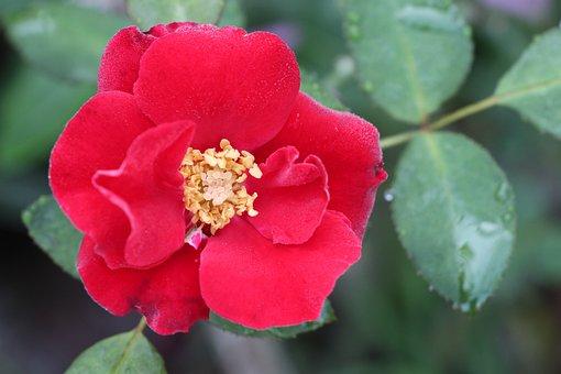 Red Flower, Flower, Petals, Red Petals
