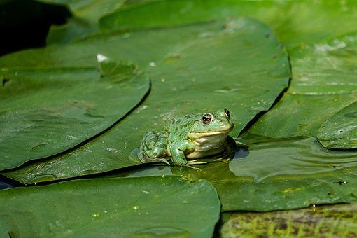 Frog, Birdwatching, Danube Delta, Romania, Mahmudia