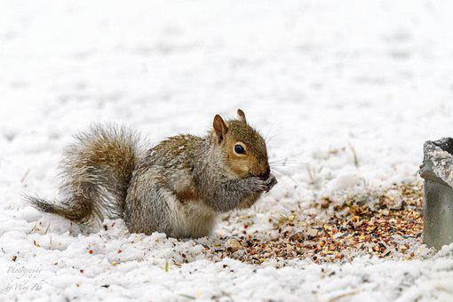 Squirrel, Rodent, Snow, Foraging, Eating, Wildlife