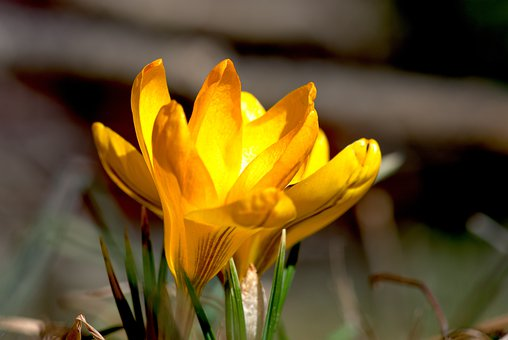 Early, Crocus, Spring, Nature, Yellow, Blossom