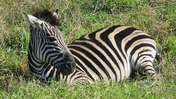 Taipei, Zoo, Zebra