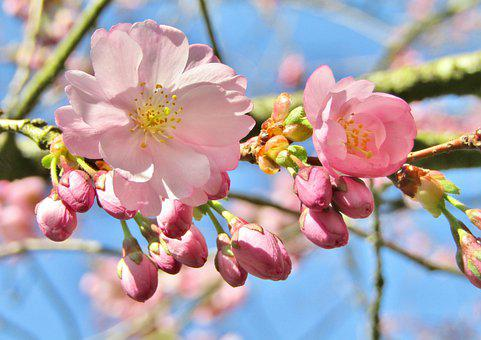 Ornamental Cherry, Japanese Cherry, Spring, Pink, White