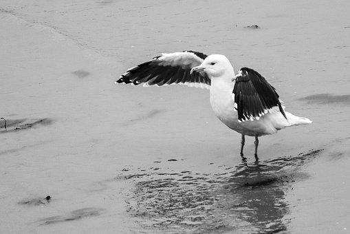 Gull, Seagull, Animal, Wildlife, Beach, Seabird, Wings