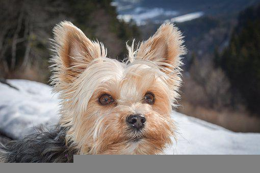 Yorkshire Terrier, Dog, Small, Small Dog, Yorkie