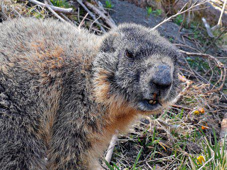 Marmot, Young, Chuck, Animal, Alpine, Furry, Cute, Pet