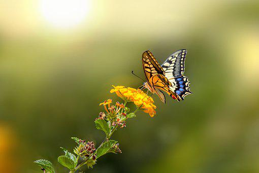 Old World Swallowtail, Butterfly, Insect, Animal