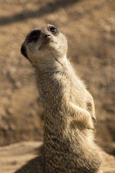 Meerkat, Animal, Zoo, Mammal, Wildlife, Small, Fur