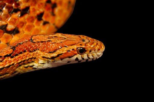 Snake, Reptile, Corn Snake, Animal, Nature, Serpent