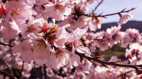 Bee, Flowers, Almond Tree, Almond Blossoms, Pollinate