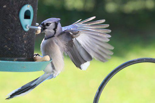 Blue Jay, Feeding, Peanuts, Bird, Nature, Blue, Jay