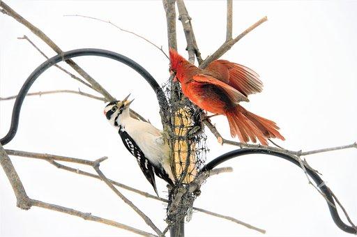 Woodpecker, Cardinal, Birds, Fighting, Perched